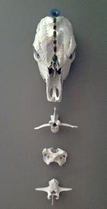 skullfrontall