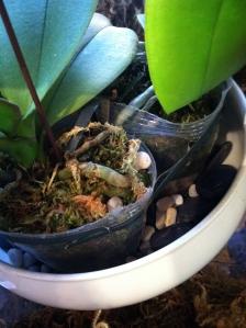 orchidtape1